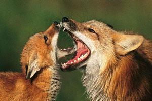 Two foxes playing.