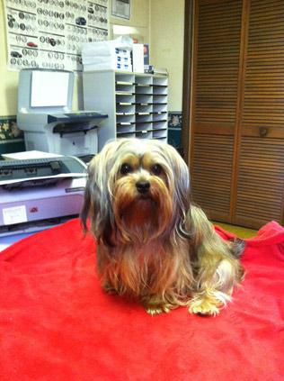 Many of our customers come into the office just to visit with Sasha. She's a cute and friendly little Shorkie that sits on Denise's desk all day.