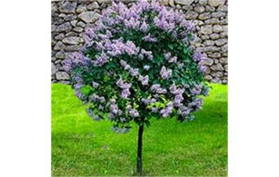 Dwarf Korean Lilac Tree
