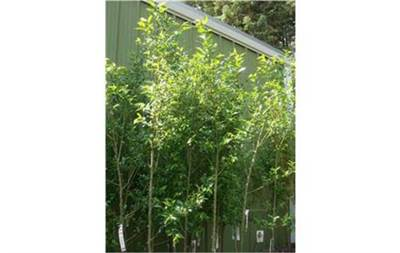Laurel Leaf Willow