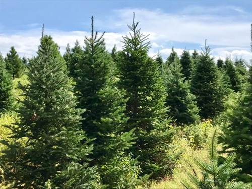 Locally Grown Balsam Fir Christmas Trees