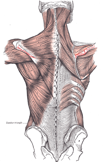 human-muscle