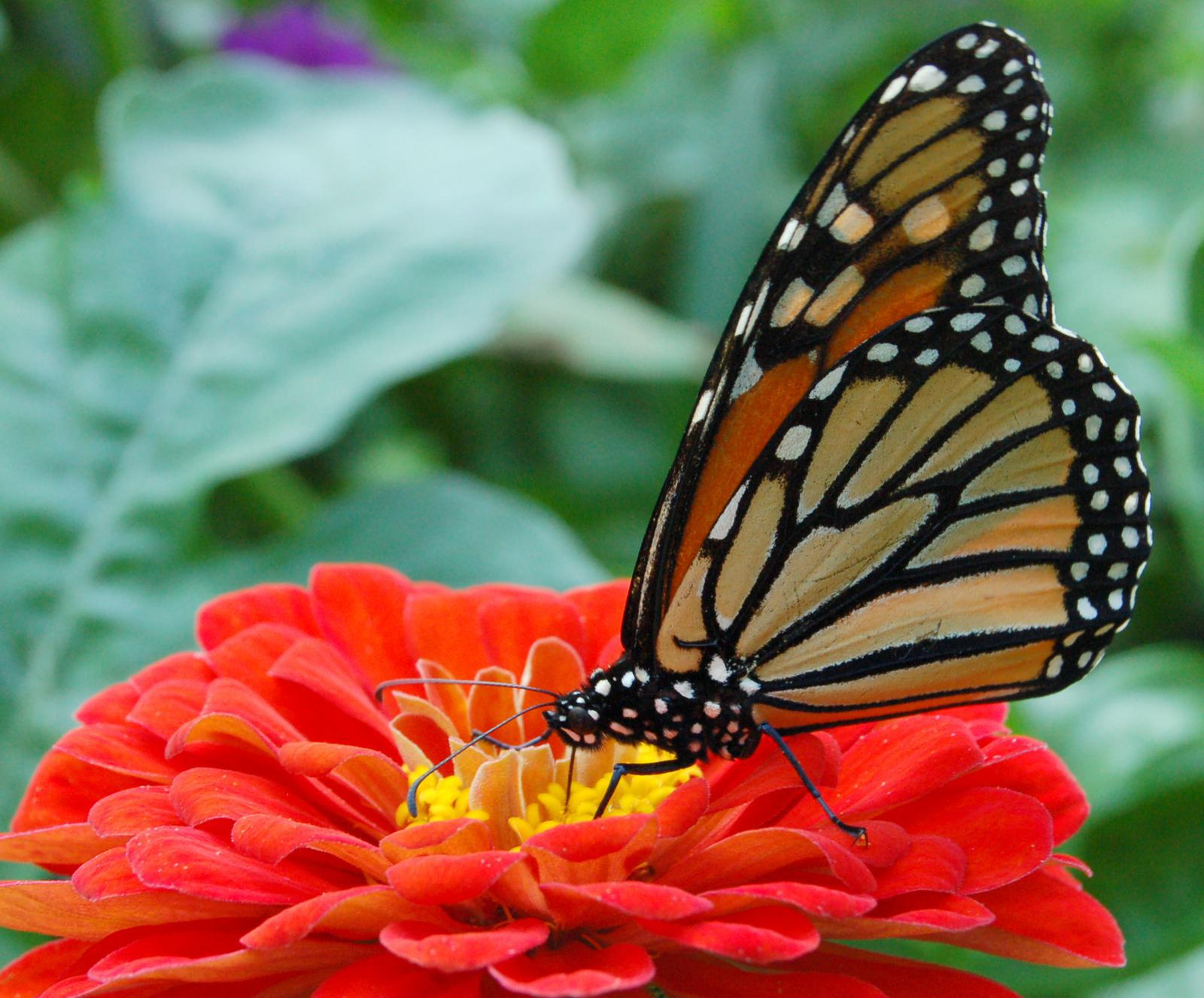 Monarch Butterfly Red Zinnia