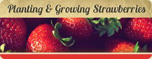 Planting & Growing Strawberries