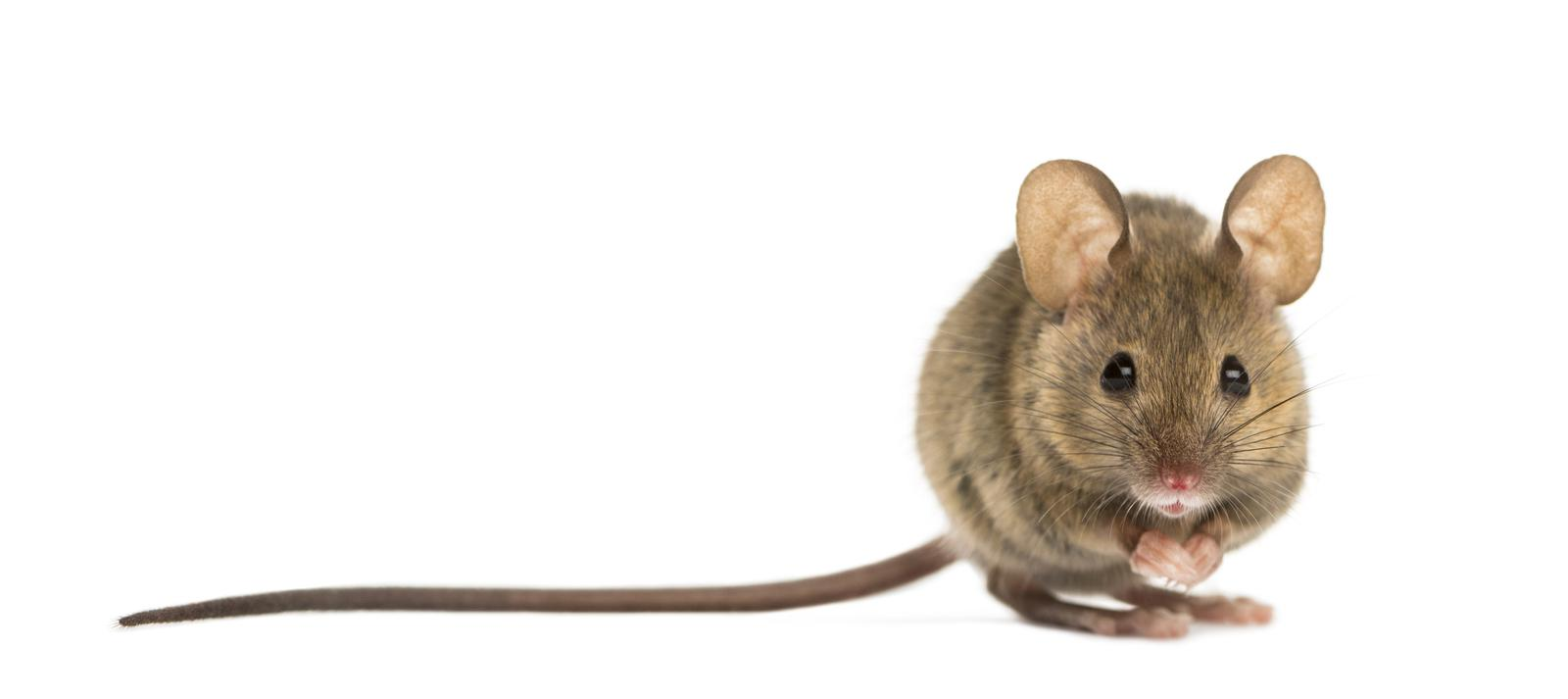 rodent waste clean up