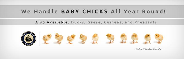 We handle baby chicks all year round, as well as ducks, geese, guineas, and pheasants (subject to availability).