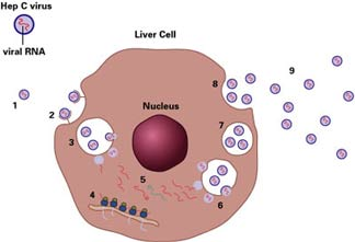 hepatitis_lifecycle